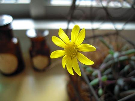ルビーネックスの花