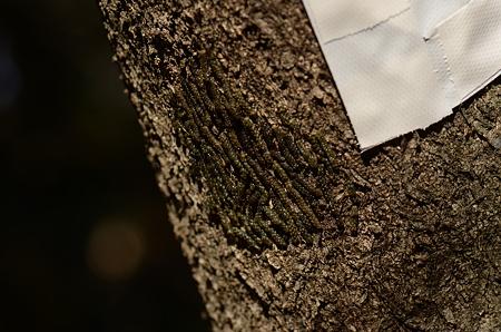 クヌギカメムシ科 クヌギカメムシ卵