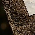写真: クヌギカメムシ科 クヌギカメムシ卵