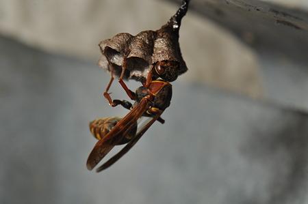 スズメバチ科 コアシナガバチ♀
