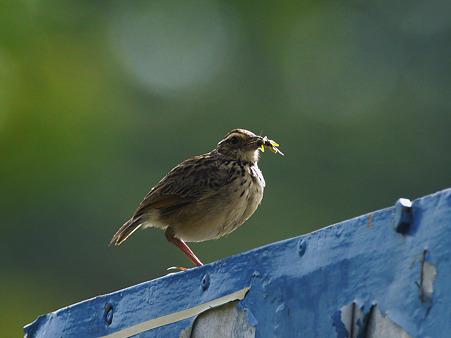 チャバネヤブヒバリ(Rufous-winged Bushlark)(Indochinese Bushlark) P1050498_R