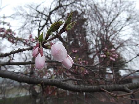 そしてやっぱり桜