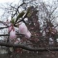 Photos: そしてやっぱり桜