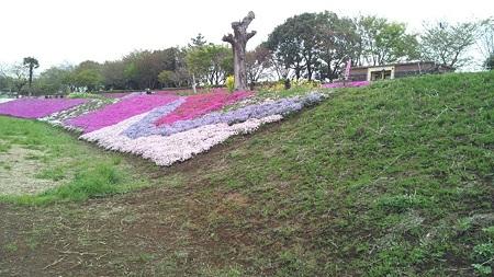 相模川芝桜3