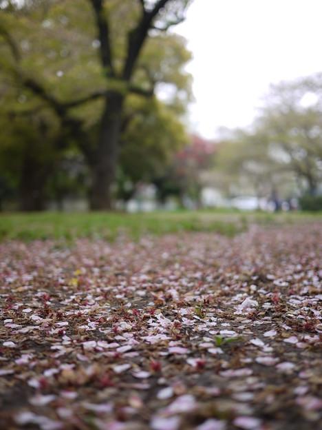 桜は終了ですな