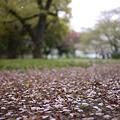写真: 桜は終了ですな