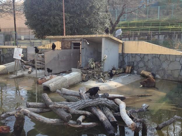 東山動植物園_08:ビーバーとその餌を狙うカラス