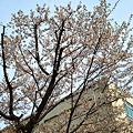 Cherry_Blossoms04102012dp2-01