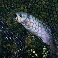 Photos: trout