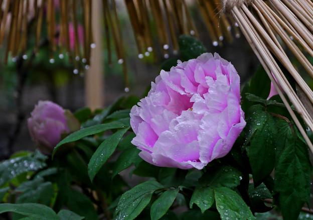 雨の牡丹園3-755c