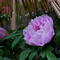 Photos: 雨の牡丹園3-755c