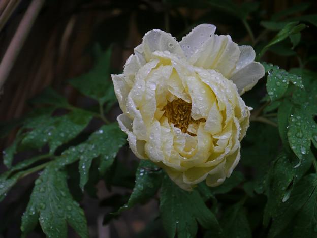 Photos: 雨の牡丹園5-836c