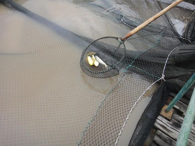 養殖黄魚 (1)