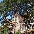 大久保の檜 ヒノキ