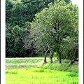 Photos: 里の木