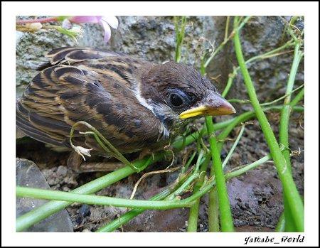 うちの雀のヒナ