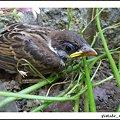 Photos: うちの雀のヒナ