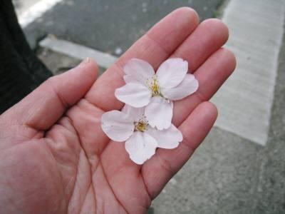 舞い落ちた桜