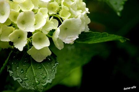 紫陽花に雨