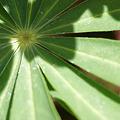 Photos: 見事な放射状の葉