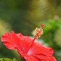 写真: 一番咲きのハイビスカス