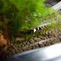 Photos: 20120318 60cmエビ水槽のブラックシャドー
