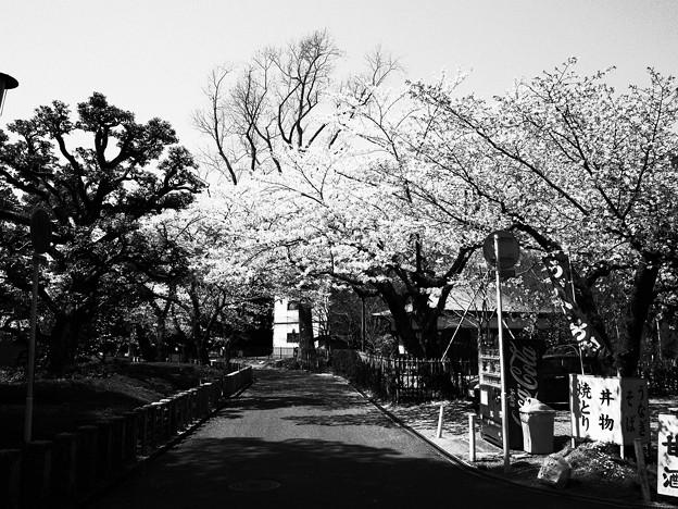 モノクロの桜のシーン