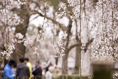 2011-04-02_京都御所_桜12
