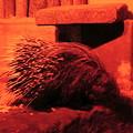 アフリカタテガミヤマアラシ