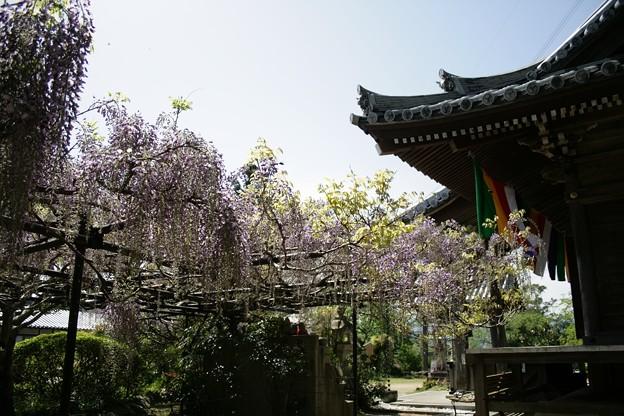 IMG_5054地蔵寺(子安地蔵寺)・九尺藤と本堂