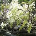 我が家の藤の花4