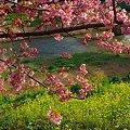 2012年3月6日 南伊豆町 「みなみ桜」 (2)
