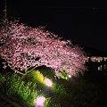 2012年3月6日 南伊豆町 「みなみ桜」 夜桜