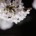 Photos: さくら8