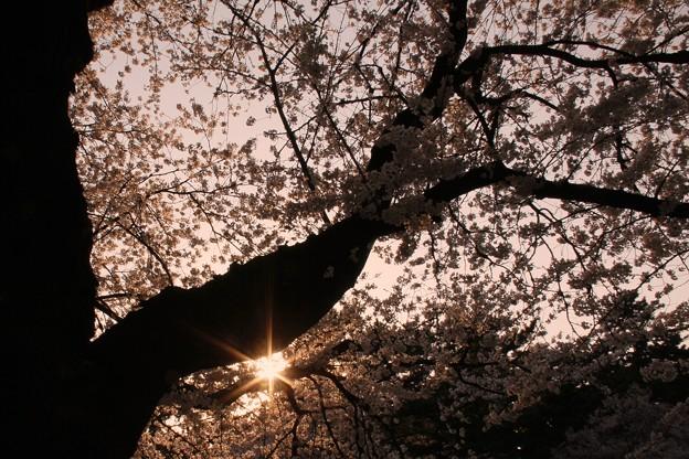 写真: 桜の木