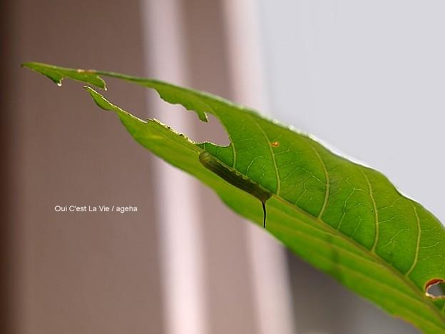 ガガ(オオスカシバ)若齢幼虫は新芽が好きだったのに。