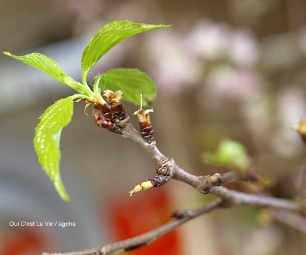 啓翁桜は葉桜に。もた毛(猫毛)付き。
