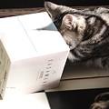 やっぱり箱が好き。だって猫だもん。