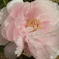 写真: 冬牡丹ブログ写真