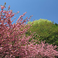 里の八重桜