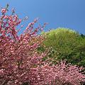 Photos: 里の八重桜