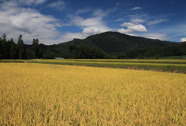 写真: 高原も黄金色