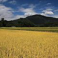 高原も黄金色