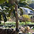 Photos: びわの苗木の再生