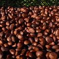 Photos: びわの種の乾燥