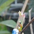 Photos: ブドウの新芽