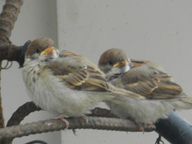 Photos: 雀の兄弟