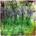 Staghorn Sumac Woods