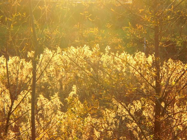 林のむこうは黄金色