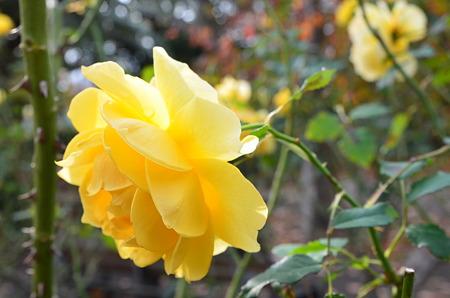 夙川公園(薔薇)